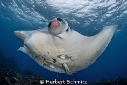 "Manta ray with an ""Outch ""   Julian Rock _ Byron Bay by Herbert Schmitz"
