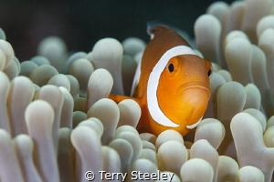 'Finding Nemo in Raja Ampat' — Subal underwater housing... by Terry Steeley