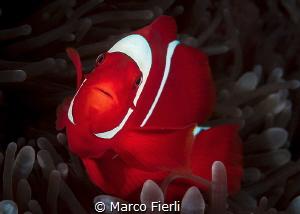 Spinecheeck Anemonefish, Female Portrait 5188x3706 by Marco Fierli