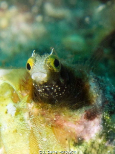 Spinyhead Blenny by J. Daniel Horovatin
