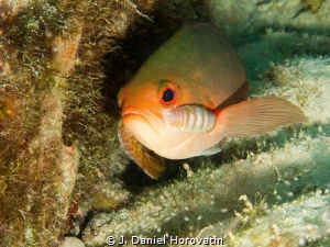 Cymothoid Isopods: Double trouble for this fish with a pa... by J. Daniel Horovatin