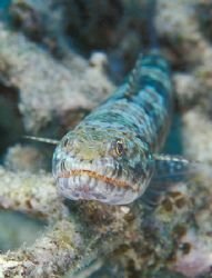 Lizard fish that didn´t run away. by Raul Rodriguez