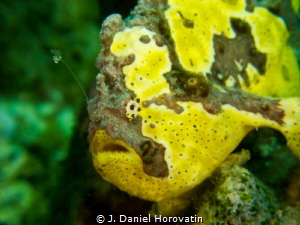 Longlure frogfish: Waiting a meal with its baited lure. by J. Daniel Horovatin