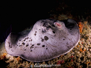 Scarface. Marbled Ray with what looks to be a propeller s... by Sean Chinn