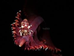 Sea Pen Shrimp by Kf Leong