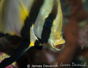 Bat fish yawn by James Deverich