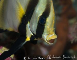 Bat fish yawn by James Deverich