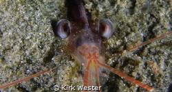 Shrimp eyes. by Kirk Wester