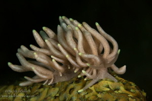 Yellow -Tipped Phyllodesmium-Anilao,Phillippines. by Richard Goluch
