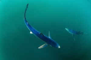 Beautiful Blues - Cornish Blue Sharks by Paul Colley