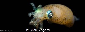 Yellow Pigmy squid (loliolus noctiluca) Black water diving! by Nick Rogers