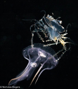 Juvenile Slipper lobster Hitching a ride! by Nick Rogers