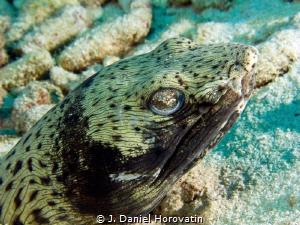 Snake Eel by J. Daniel Horovatin