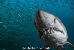 Nice set of teeth.  Photo taken Port Stephen Australia by Herbert Schmitz