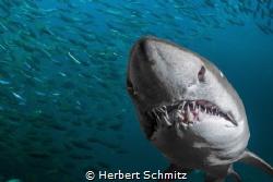 Nice set of teeth.  Photo taken Port Stephen Australia by Herbert Schmitz