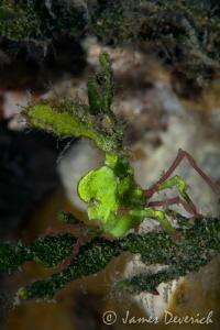 Arrowhead crab - Huenia heraldica by James Deverich