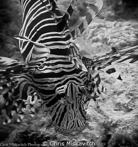 Lion Fish by Chris Miskavitch
