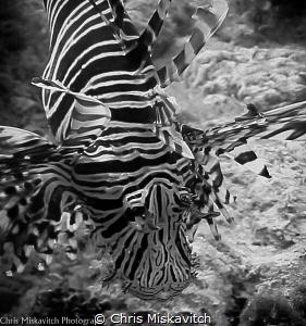 Lion Fish by Chris Miskavitch