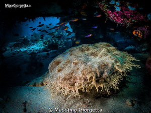 wobbegong  shark by Massimo Giorgetta