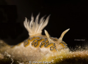 Doriprismatica sp . Night dive in Romblon island by Hakan Basar