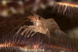 Hinge beak shrimp and brittle star, the protector and the... by Adeline Wee