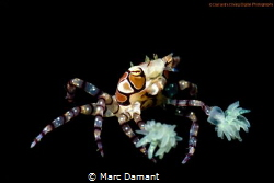 A Beautiful Boxer! Taken with a 100mm macro and +5 diopte... by Marc Damant
