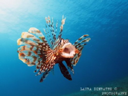 Pterois miles yawning by Laura Dinraths