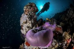 Anemone Maldives by Anthony Massart