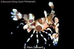 An amazing creature the Harlequin Shrimp is a riot of col... by Marc Damant