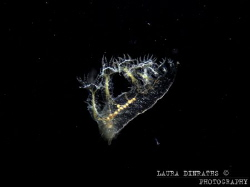 Melibe engeli nudibranch at night by Laura Dinraths