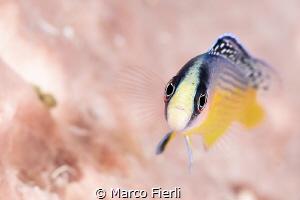 Splendid Dottyback, Portrait 3211x2141 by Marco Fierli