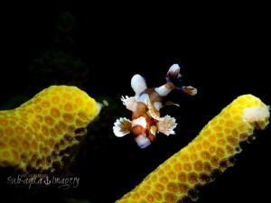 "Juvenile Sweet Lips - approx 3/4"" in length by Jan Morton"