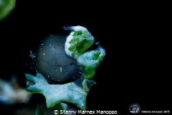 Green shrimp  by Stanny Marnex Manoppo