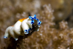 Feeding flatworm, Pseudoceros sp. - Mayotte by Takma Lherminier