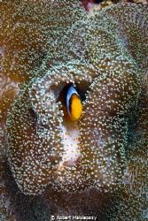 Clownfish by Robert Malolepszy