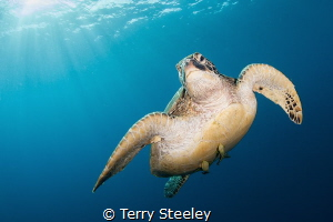 'Sea turtle' Atlantis Dive Resort, Dumaguete, Philippines... by Terry Steeley