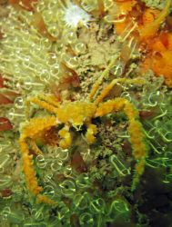 Mine, all mine! Tiny spider crab standing guard over his ... by Dawn Watson