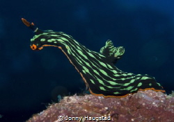 Nudibranch! by Jonny Haugstad