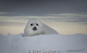 Harp seal pup on the ice at dawn by Ellen Cuylaerts