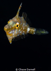 """""""Golden Eye"""" Finding a Slender Filefish in the blue wate... by Chase Darnell"""