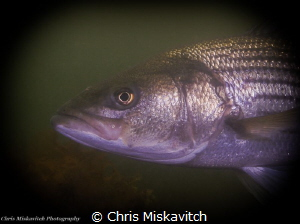 Stripped Sea Bass off Massachusetts....Swimming in for a ... by Chris Miskavitch