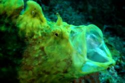Frog fish in action with a nikon D100 by Martin Van Gestel