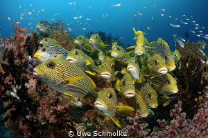 Sweetlips facing you by Uwe Schmolke