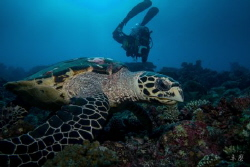 Young turtle - Mayotte by Takma Lherminier