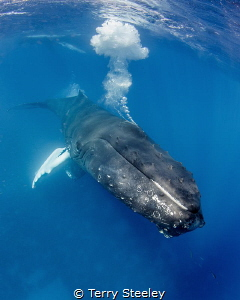 Rowdy male humpbacks blast bubbles underwater, battling f... by Terry Steeley