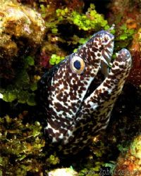 This Spotted Eel was ready for his close-up =) by Zaid Fadul