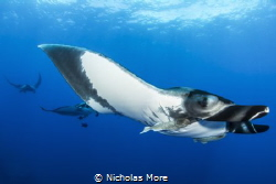 Pacific Giant Manta taken at el Boiler, Socorro Islands. ... by Nicholas More