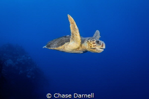 """""""Old Wise Man"""" A large Loggerhead Turtle cruising the No... by Chase Darnell"""
