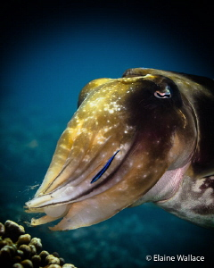 This female cuttle fish, although initially cautious, aft... by Elaine Wallace