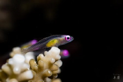 Pink eye goby - Mayotte by Takma Lherminier